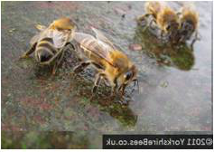 bees in contact with water